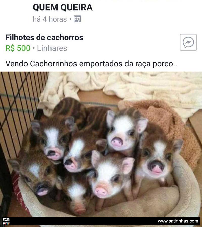 cachorrinhos-da-raça-porco