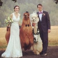 Todo casamento fica mais legal com lhamas.