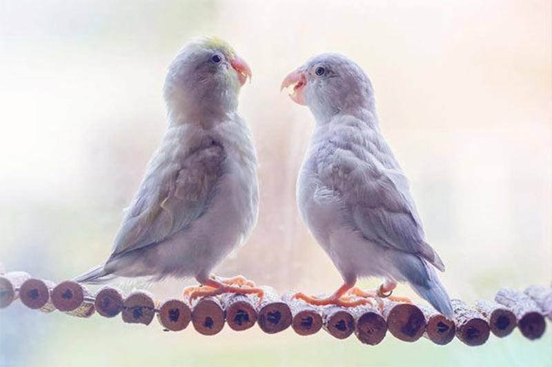 História de amor entre periquitos australianos