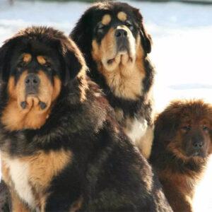 Você sabe qual é a raça de cachorro mais cara do mundo?