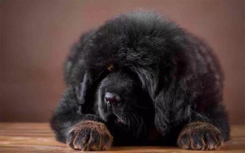 Mastiff Tibetano Filhote
